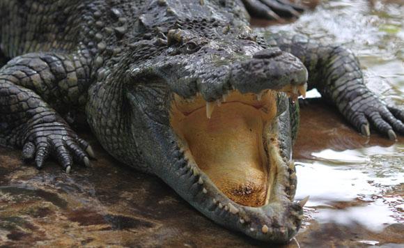 Crocodile580
