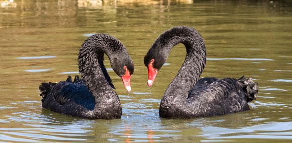 blackswans580